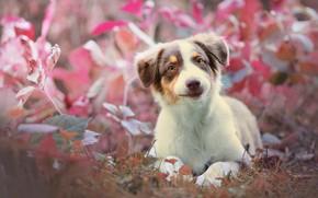 Picture grass, look, dog, puppy, Australian shepherd, Aussie