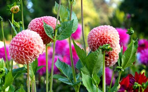 Picture summer, leaves, flowers, stems, bright, garden, pink, flowerbed, bokeh, dahlias, salmon
