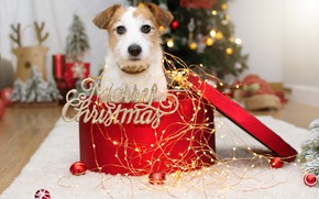 Picture look, balls, pose, room, box, gift, the inscription, dog, lights, Christmas, New year, fur, Mat, …