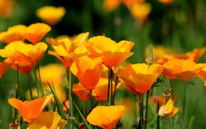 Picture summer, flowers, bright, yellow, orange, a lot, escholzia