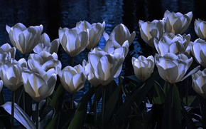 Picture water, light, flowers, night, the dark background, spring, garden, tulips, white, twilight, buds, flowerbed, pond