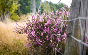 Picture flowers, nature, Bush, pink, Heather