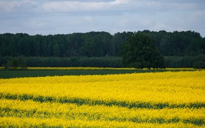 Picture forest, the sky, trees, flowers, yellow, meadow, contrast, space, rape, rapeseed field