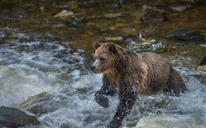 Picture bear, bathing, pond