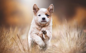 Picture autumn, grass, look, nature, pose, stems, dog, paws, baby, running, puppy, walk, face, blurred background, ...