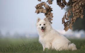 Picture language, look, leaves, branches, dog, white, face, sitting, Spitz