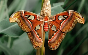 Picture leaves, pattern, butterfly, wings, stem, Emperor moth