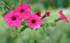 Picture flowers, background, petunias