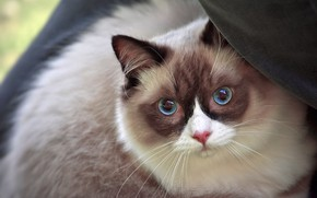 Picture cat, cat, look, face, portrait, fabric, blue eyes, color-point, ragdoll