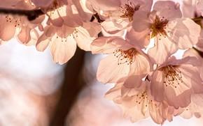 Picture light, flowers, branch, spring, Sakura, white, flowering, bokeh