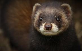 Picture look, face, background, portrait, ferret, ferret