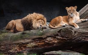 Picture pose, the dark background, tree, stay, sleep, Leo, sleeping, wild cats, lioness, zoo, laziness, lie