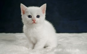 Picture cat, white, kitty, background, kitty, sitting