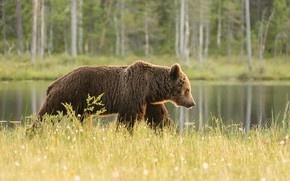 Picture forest, grass, reflection, shore, bear, cotton, walk, pond