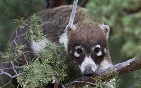 Picture look, face, branches, background, portrait, needles, the spot-nosed coati, coati, whitetip