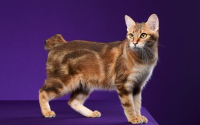 Picture cat, cat, look, pose, red, face, purple background, short tail, Studio, Bobtail