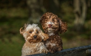 Picture dogs, look, water, light, trees, nature, background, the wind, two, portrait, wool, pair, a couple, …