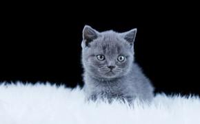 Picture fur, black background, kitty, British