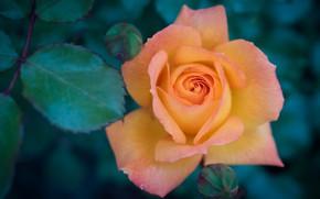 Picture leaves, macro, rose, orange, petals, buds