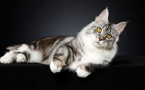 Picture cat, look, pose, kitty, background, muzzle, lies, Maine Coon, Studio