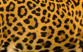 Picture background, leopard, skin, fur, leopard, texture, fur, skin