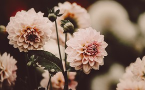 Picture flowers, pink, blur, dahlias