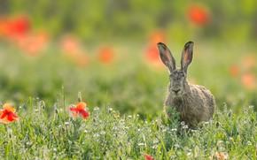 Picture flowers, Maki, hare, chamomile, meadow, ears, bokeh