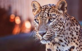 Wallpaper look, face, lights, background, portrait, leopard, wild cat, bokeh, blurred