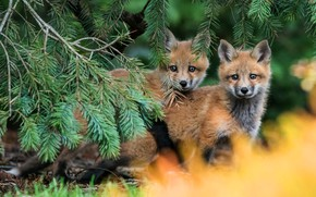 Wallpaper forest, branches, nature, pose, background, pair, kids, red, a couple, needles, Duo, two, faces, Fox, ...