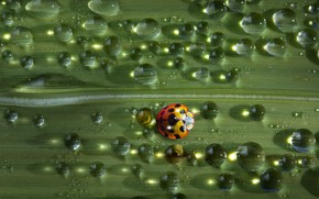 Picture water, drops, balls, macro, light, green, Rosa, background, leaf, ladybug, beetle, insect, water drops, bug