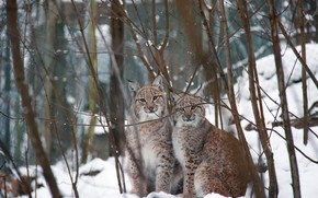 Picture winter, forest, look, face, snow, trees, branches, pose, two, pair, lynx, a couple, Duo, lynx, …