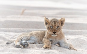 Picture sand, look, pose, Leo, baby, lies, face, light background, wild cat, lion, lion