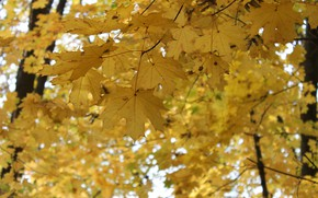 Picture autumn, leaves, maple