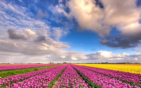 Picture field, clouds, flowers, blue, beauty, positive, spring, yellow, tulips, pink, the beds, Netherlands, flowering, a …
