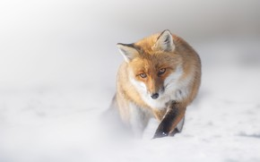 Picture winter, look, face, snow, nature, pose, fog, Fox, the snow, haze, walk, light background, sneaks