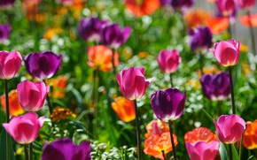 Picture light, flowers, bright, spring, tulips, pink, orange, flowerbed, a lot, different, SIRENIA