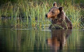 Picture grass, water, nature, animal, predator, bear, brown, Alexander Perov