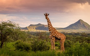 Picture the sky, mountains, nature, giraffe
