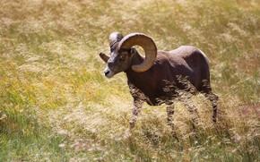 Picture field, grass, horns, walk, RAM, wild