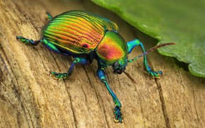 Picture nature, background, insect, Chrysomelidae sp.