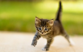 Picture cat, summer, grass, look, nature, pose, kitty, grey, background, legs, blur, small, baby, muzzle, walk, …