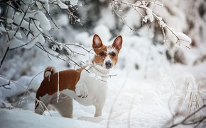 Picture winter, look, snow, branches, dog, Natalia Ponikarova, Африканская нелающая собака, Басенджи