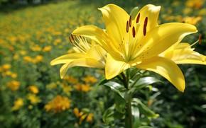 Wallpaper flower, the sun, flowers, Lily, yellow, bokeh, closeup