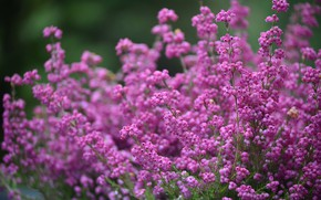 Picture flowers, Bush, pink, bokeh, twigs, buds, Heather