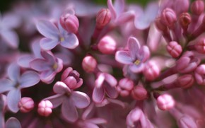 Picture flower, spring, lilac, bloom