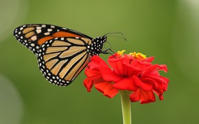 Picture flower, macro, background, butterfly, Zinnia, The monarch