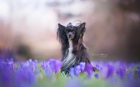 Picture flowers, dog, crocuses, bokeh, shaggy, Chinese crested dog