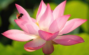 Picture flower, macro, light, close-up, bee, pink, petals, Lotus, insect, green background