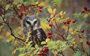 Picture nature, berries, bird, североамериканский мохноногий сыч