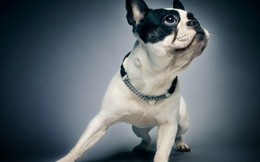 Picture pose, background, portrait, dog, collar, Boston Terrier